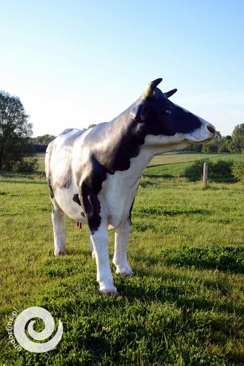 krowa do dojenia - konin, kalisz, sieradz, turek, wielkopolska